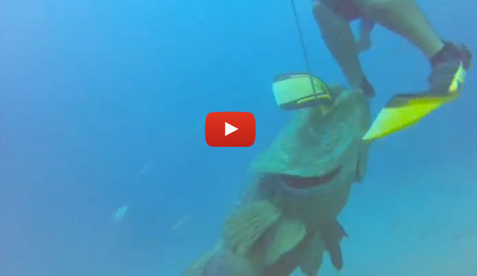 Don T Mess With A Goliath Grouper Giant Fish Takes What