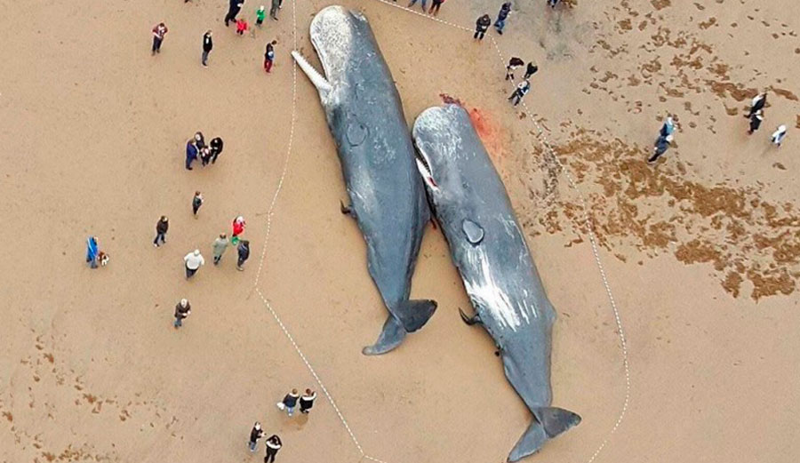 Two sperm whale lie dead on Germany's North Sea coastline. Their stomachs were full of plastic. Photo: Facebook
