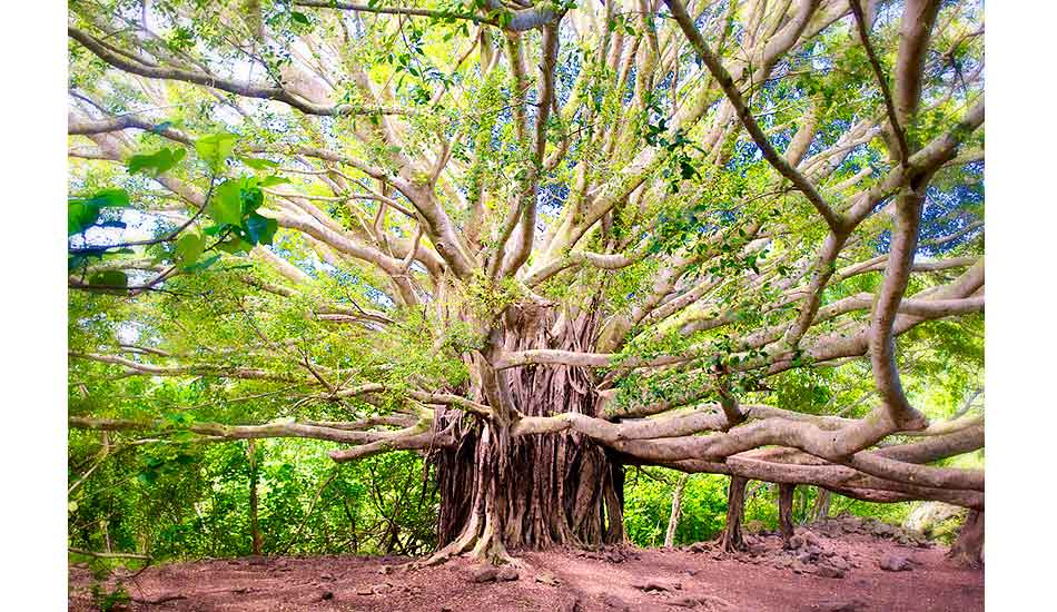 "A giant banyan tree in Maui. No matter where you go, it\'s always worthwhile to take a day or two and just explore. Photo: <a href=""http://driftwoodfoto.com/\"">Ben Ginsberg</a>"