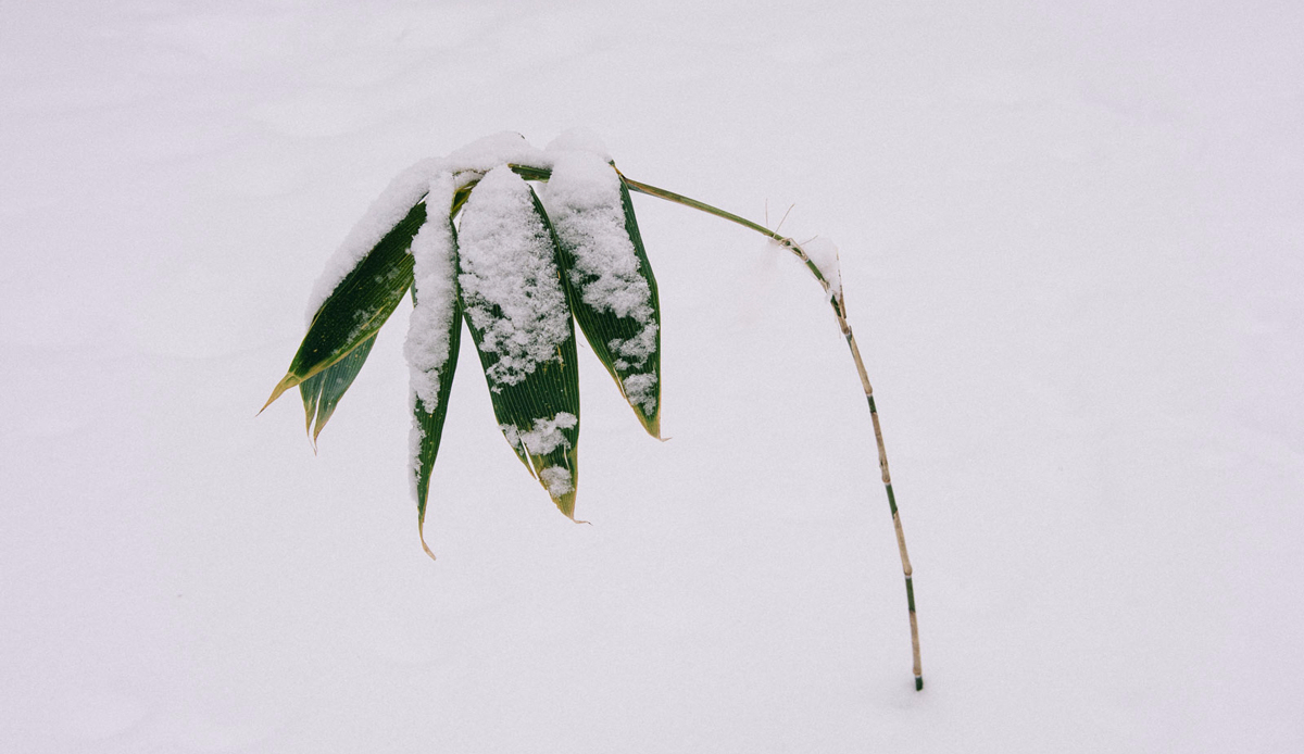 "Lonely bamboo, Hokkaido, Japan. Photo: <a href=""http://instagram.com/deanblottogray\"">Dean Blotto Gray</a>"