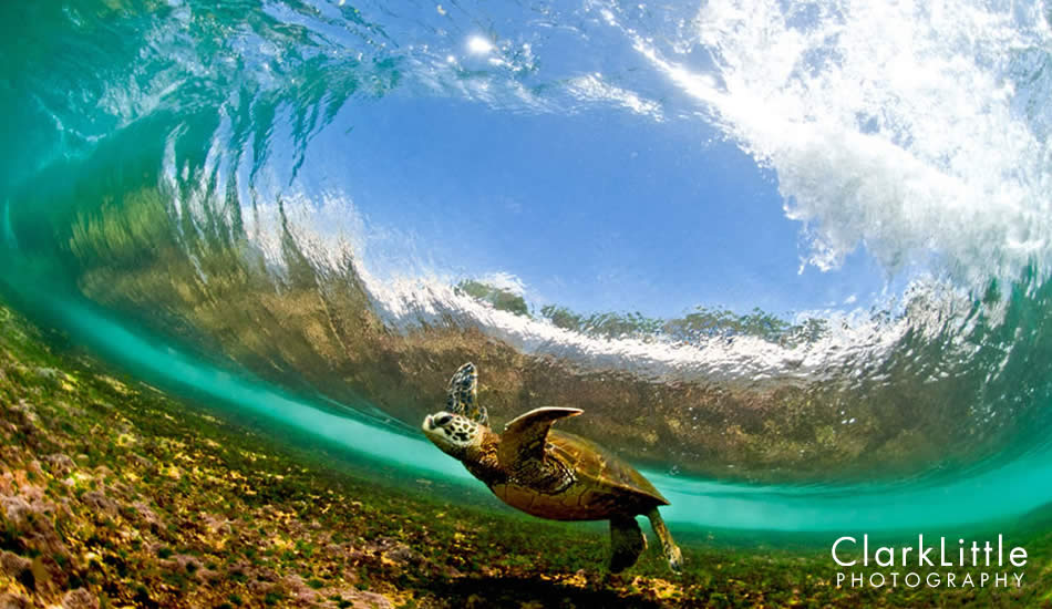 """This Hawaiian Green Sea Turtle (Honu in Hawaiian) barely gets under this pitching wave. Notice the bottom of the barrel less than an inch above the shell. The turtles come into shore to eat the seaweed off of the reef, which is where I strategically wait for them. Photo: <a href=\""""http://ClarkLittlePhotography.com\"""" target=_blank>Clark Little</a>."""