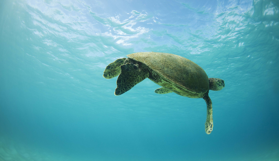 "TURTLE. Oahu, Hawaii. Photo: <a href=""http://www.luciagriggi.com\"" target=\""_blank\"">Lucia Griggi</a>"