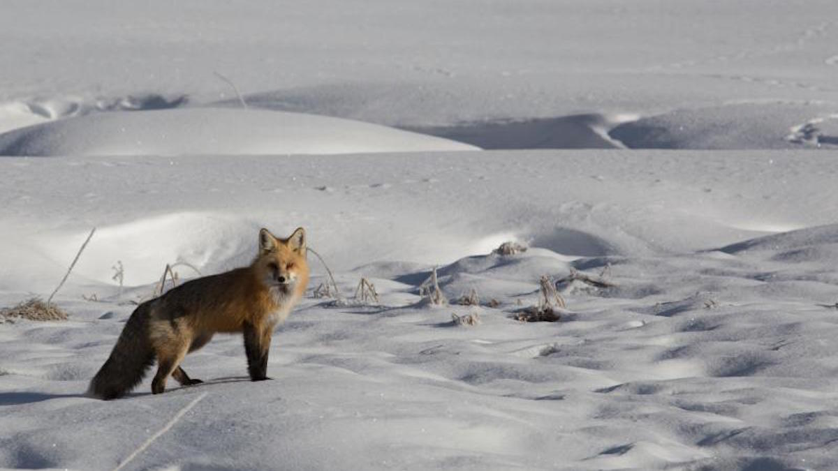 Red fox in Denali National Park. Photo: NPS