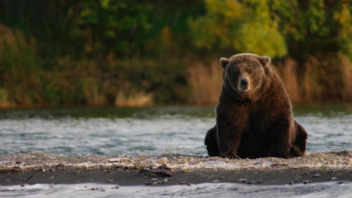A bear in Katmai National Park. Photo: NPS