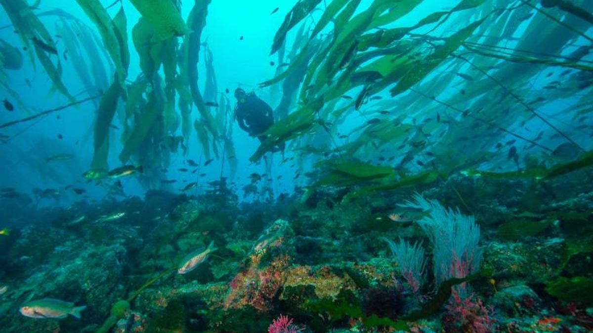 Kelp forest in Channel Islands National Park. Photo: Brett Seymour/NPS