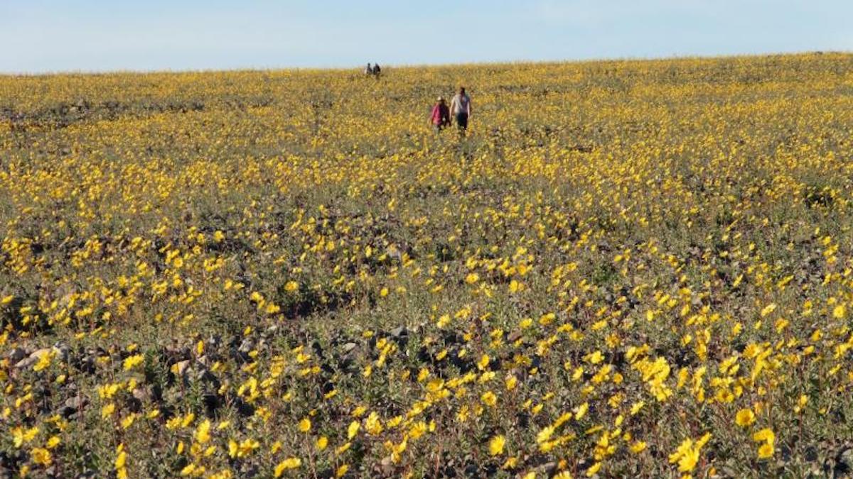 Wildflowers in Death Valley. Photo: Alan van Valkenburg