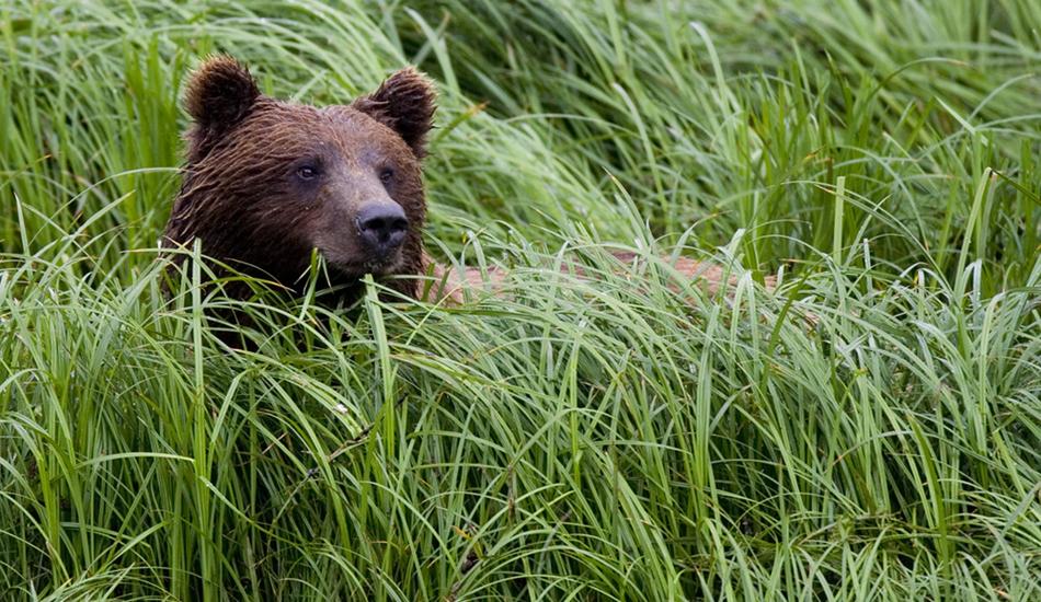 """Bear in the grass. Image: <a href=\""""http://www.paulferraris.com/\"""" target=\""""_blank\"""">Ferraris</a>"""