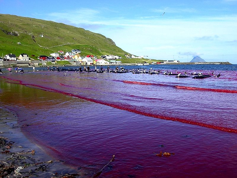 Beach of Hvalba during a Grindadráp, Faroe Islands. Photo: Wikipedia
