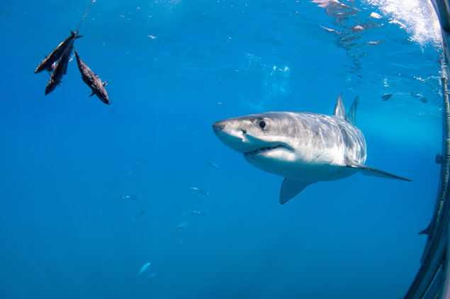 A curious shark drawn to a baited line. Photo: Shutterstock