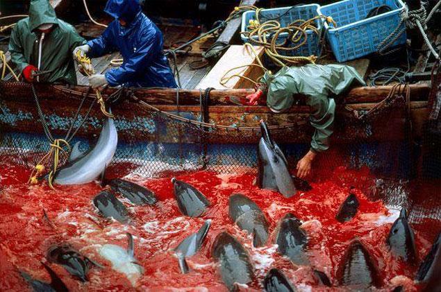 The Taiji dolphin slaughter. Photo:  Educateinpirechange.org