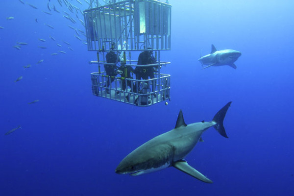 These are the most dangerous animals in the world. They kill millions each year. And outside the cage, sharks swim peacefully. Photo: Shutterstock