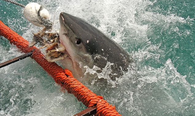 A White Shark biting fish heads used to draw the shark in. Photo: Wikimedia Commons