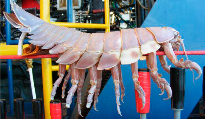 Crazy Creature Of The Week The Giant Isopod The Inertia