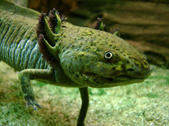 An axolotl with the species' more common coloring. Photo: Wiki Commons