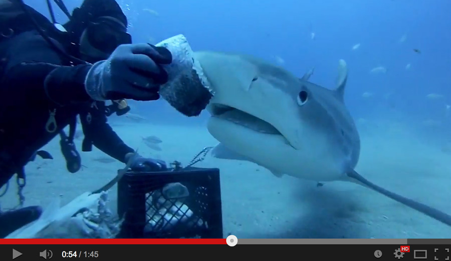 Just remember. After you feed the tiger shark. Pet it. …Or do neither. Your call.