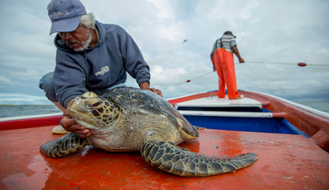 Researches have been studying the health and mortality rates of sea turtles in this area due to industry for years.  2 of the 5 species of turtle found here are listed as endangered on the IUCN red list of Threatened species. Adding more threats to their already questionable future cannot aid in our ability to understand or protect their long term health.