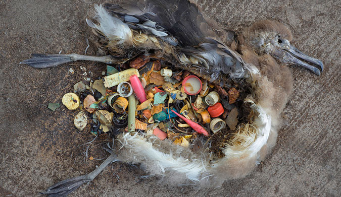 Fish, birds and marine mammals ingest much of the plastic which can rupture their organs or cause starvation.