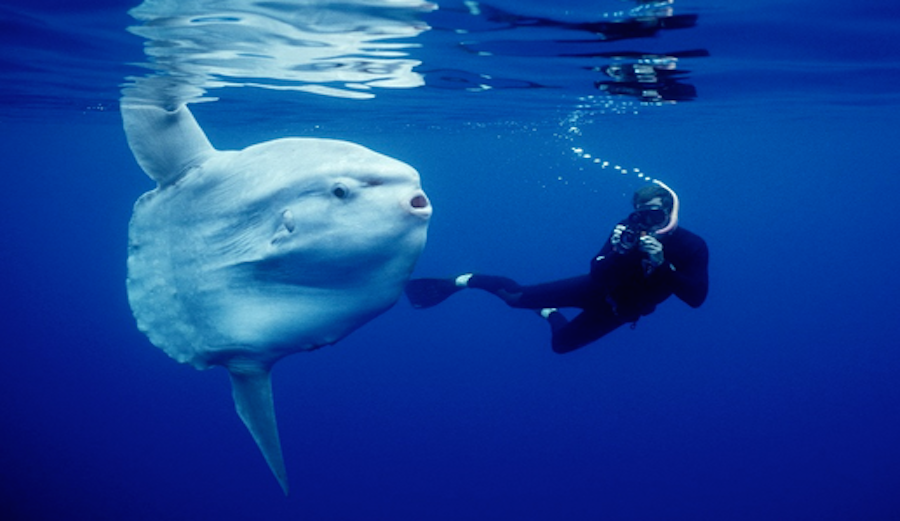 Sunfish are very photogenic, often seen posing for paparazzi. Credit: Journal of Animal Ecology