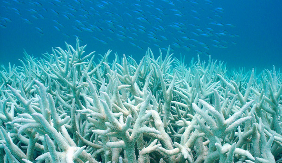 Global warming coupled with El Niño is causing mass coral bleaching. Photo: Duke University