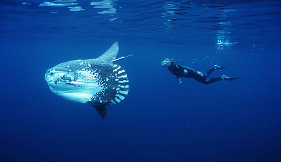 Sunfish are very docile, often allowing swimmers to get close and cuddly. Photo: UCSB