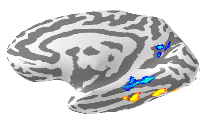 Brain areas that likely help us learn and recognize waves. This is a reconstruction of my brain. It's been inflated so you can see brain areas inside the indentations (darker gray pixels). The left side of the image is the front and the right side of the image is the back. The cool colors indicate those areas that respond more to visual scenes (beachscapes, wavescapes, etc.) than to images from other visual categories (faces, objects, etc). The warm colors indicate those areas that respond more to images of faces than to images from other visual categories (scenes, objects, etc.).