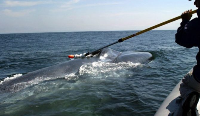 Blue Whale, Balaenoptera musculus, tagging off Monterey Bay, California (Pacific)