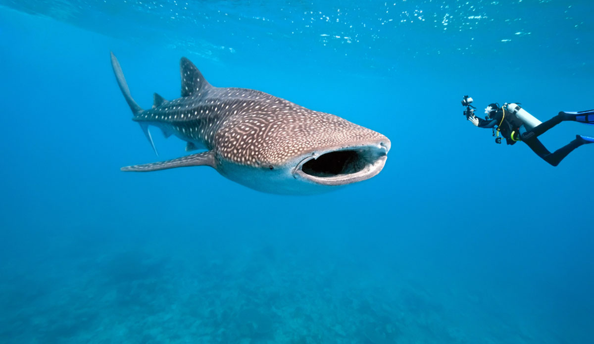 The whale shark is the newest species on the endangered list. But will we do anything to fix the problem? Photo: Shutterstock