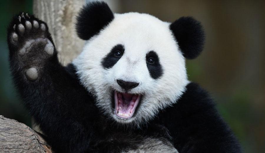 Celebrate, panda! Photo: CNN