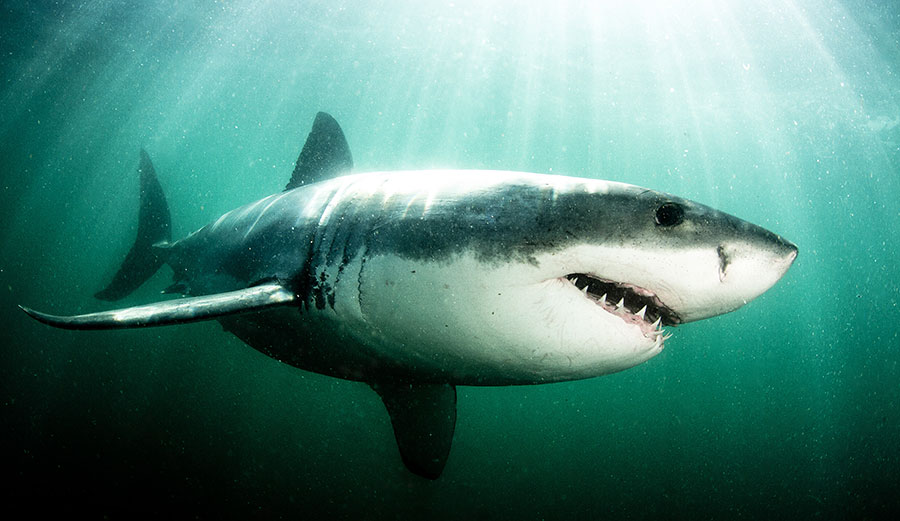 More time in the water=more shark attacks.