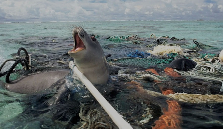 A seal trapped in a mat of plastic pollution. Image: Creative Commons