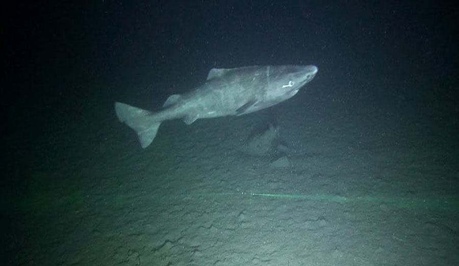 A small Greenland shark, less than 1.5 metres long, observed inside Scott Inlet on northern Baffin Island. Image: Brynn Devine/Author provided