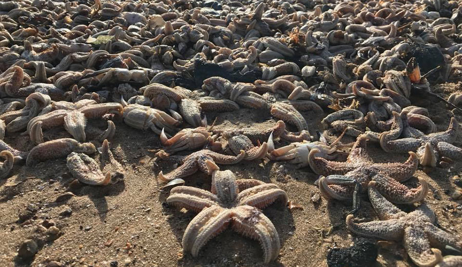 High winds and waves may have pushed the starfish ashore.
