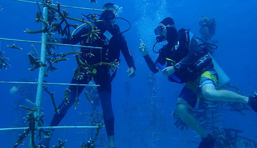 Selecting corals to be outplanted for restoration from the Coral Restoration Foundation nursery in the Florida Keys.