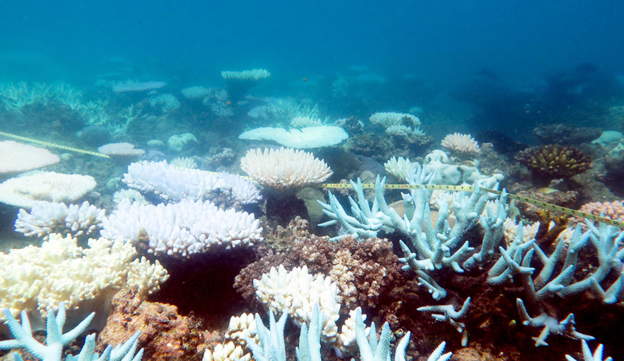 Staghorn and tabular corals suffered mass die-offs, robbing many individual reefs of their characteristic shapes. ARC Centre of Excellence for Coral Reef Studies/ Mia Hoogenboom