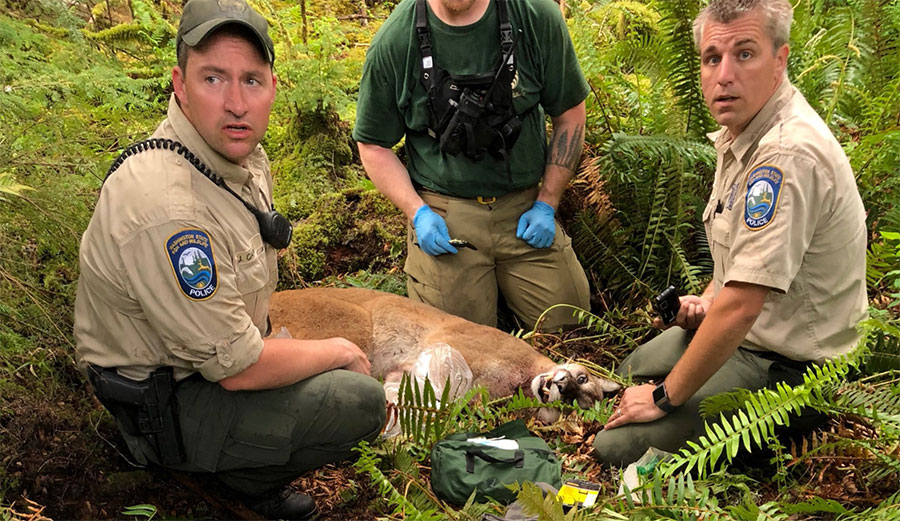 On Saturday morning in the foothills near North Bend, Washington, two mountain bikers were attacked by a cougar. One was killed. It was the first time a cougar attack has ended in a fatality in over a century.
