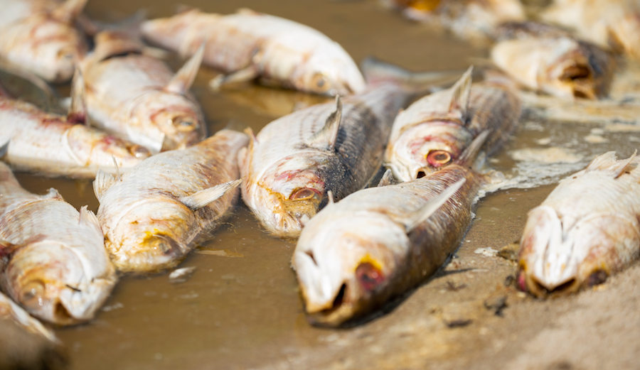 """Hundreds of dead fish were found floating in Malibu Lagoon late last week. The cause is still unknown. Photo: <a href=""""www.tyschiffphotography.com"""">Tyler Schiffman </a>"""