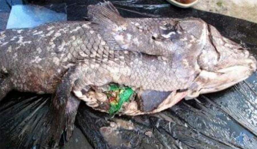 coelacanth eating lays chip bag