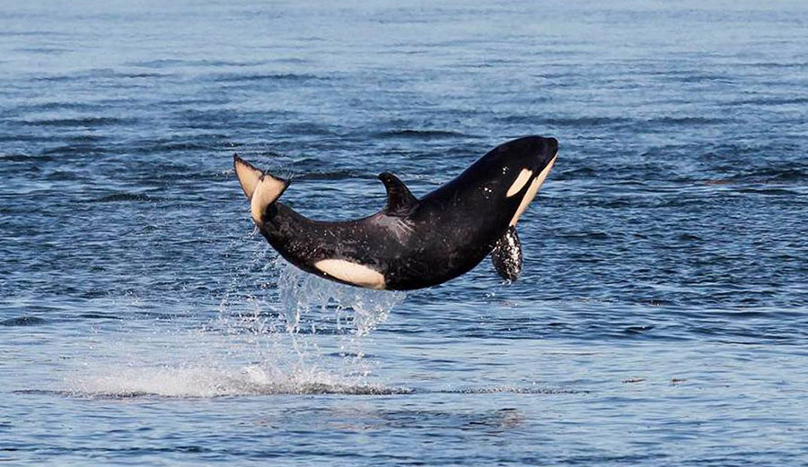 """Salish Sea orca J50, or """"Scarlet"""" has been pronounced dead by researchers tracking her."""