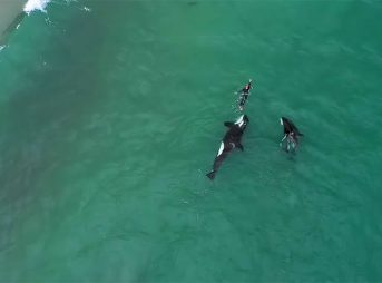 Killer whales swim with woman
