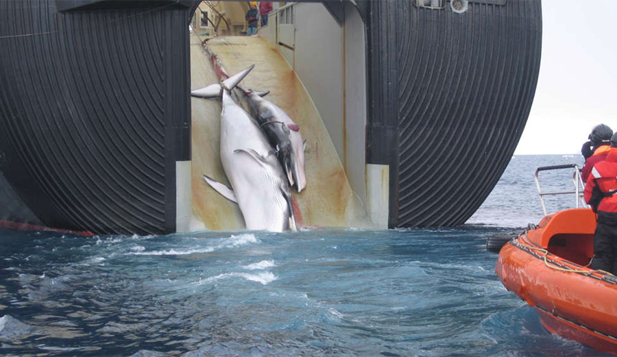 Minke whales are pulled onto a Japanese whaling vessel.