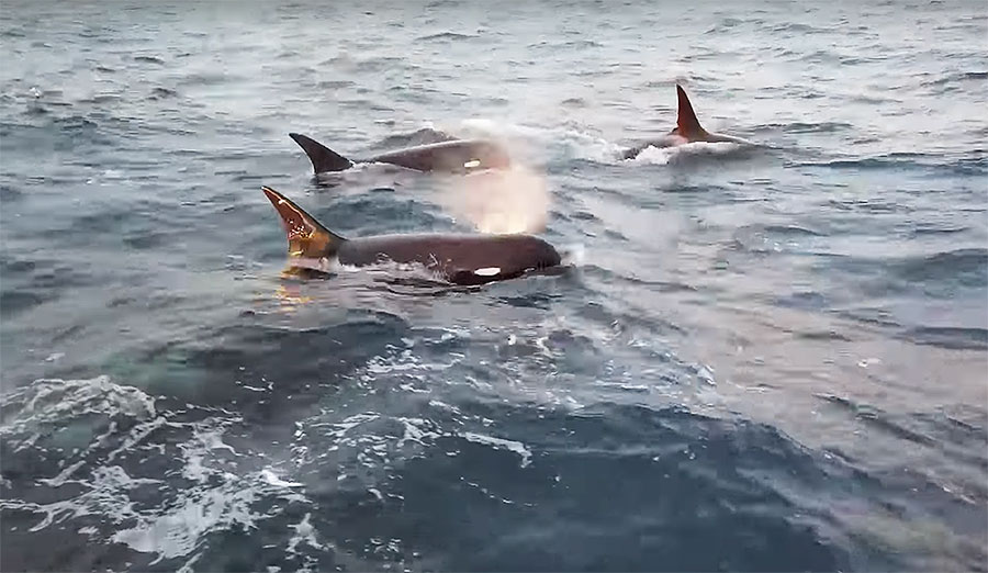 type d killer whales in Chile