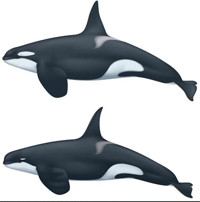 Type D Killer whale and regular killer whale