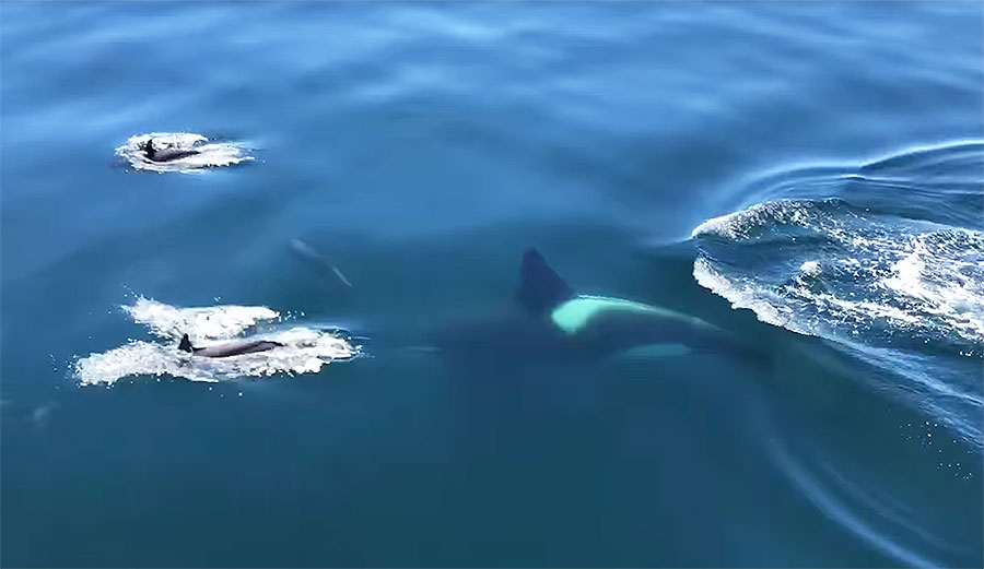 Incredible Footage of Pod of Dolphins Swimming with Killer Whale Reveals Just How Intelligent Dolphins Are