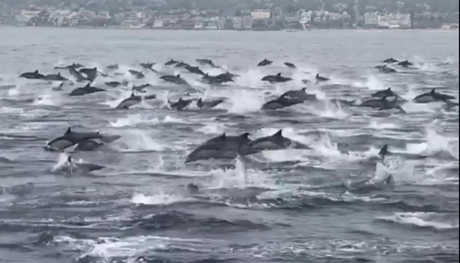 מסתערים: צפו בלהקה ענקית של דולפינים שוחה בלי מעצורים