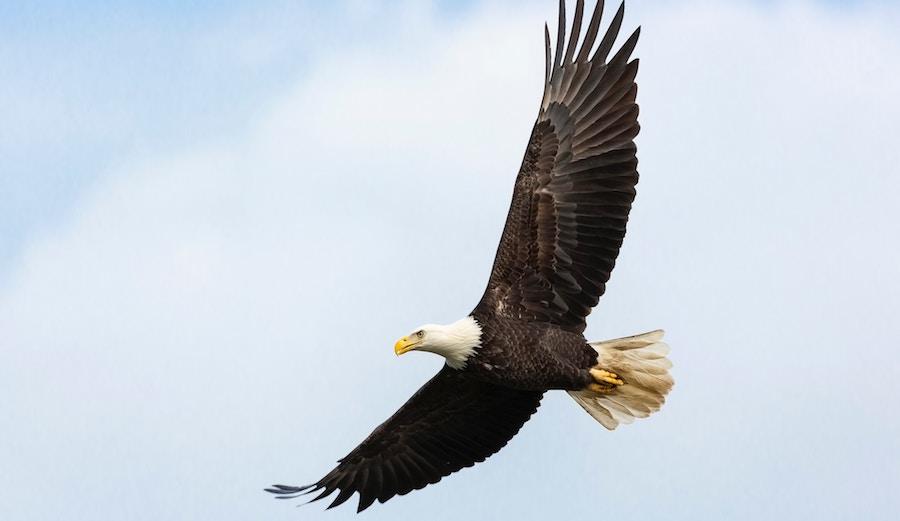 Bald Eagle Photo: Unsplash