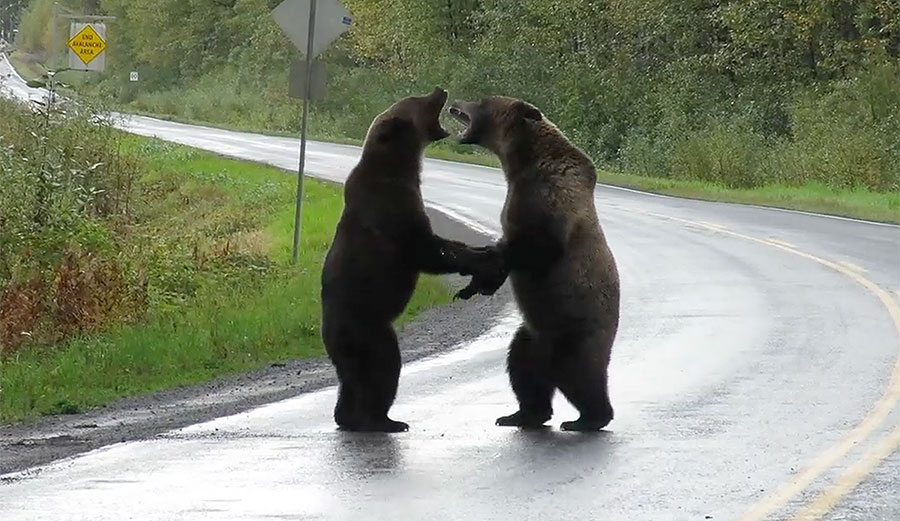 Incredible Video Shows Two Grizzly Bears Fighting on Canadian Highway