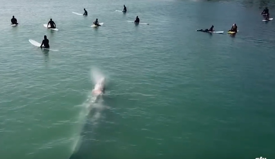 Drone Footage Shows Gray Whale Casually Passing Beneath Surfers at Doheny