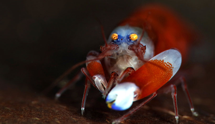 The modest snapping shrimp. (Shutterstock)