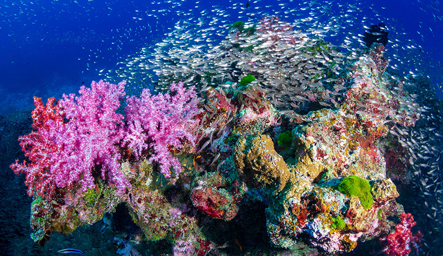 A coral reef in the Similan Islands, Thailand.