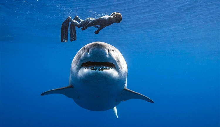 Ocean Ramsey Great White Shark Photo: Juan Oliphant